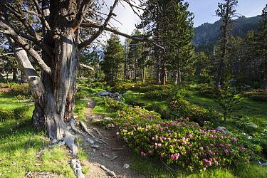 Mountain pine wood (Pinus mugo) and rhododendron flowers, De la Pera Lakes, Tossa Plana de Lles, Pyrenees, Lleida Province, Spain, July  -  Juan Manuel Borrero/ npl