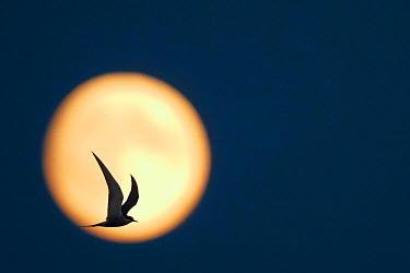 Arctic Tern (Sterna paradisaea) in flight, silhouetted against the moon at dusk, Uto Finland July  -  Markus Varesvuo/ npl