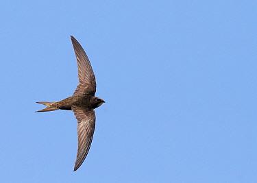 Common Swift (Apus apus) in flight, Helsinki Finland July  -  Markus Varesvuo/ npl