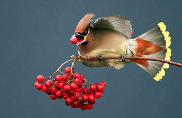 Bohemian waxwing (Bombycilla garrulus) feeding on berries, Uto Finland October  -  Markus Varesvuo/ npl