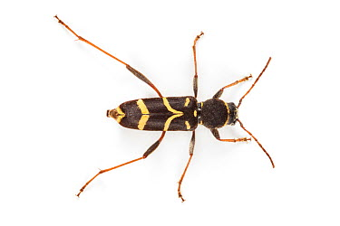Wasp Beetle (Clytus arietis), a wasp mimic Photographed on a white background, Aosta Valley, Monte Rosa Massif, Pennine Alps, Italy July  -  Alex Hyde/ npl