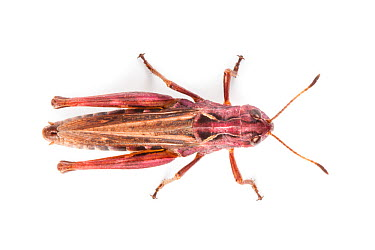 Rufous Grasshopper (Gomphocerippus rufus), overhead view photographed on a white background Aosta Valley, Monte Rosa Massif, Pennine Alps, Italy July  -  Alex Hyde/ npl