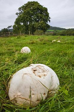 Giant Puffballs (Langermannia gigantea) in pasture, Peak District National Park, Derbyshire, UK September  -  Alex Hyde/ npl