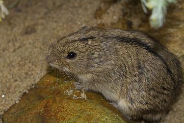 Steppe Lemming, Vole (Lagurus lagurus) Captive,  -  Kerstin Hinze/ npl