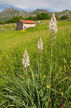 White asphodel (Asphopdelus albus) in flower, Picos de Europa, Spain, June  -  Adrian Davies/ npl