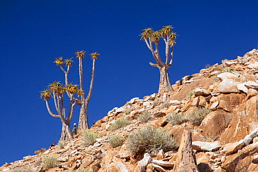 Bastard Quiver Trees (Aloe dichotoma pillansiii) Cornellskop, Richtersveld, South Africa, October  -  Chris Mattison/ npl