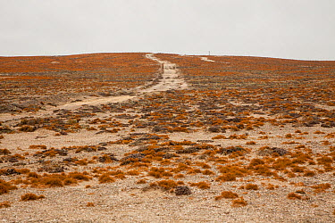 Lichen fields near Alexander Bay, Northern Cape, South Africa, October  -  Chris Mattison/ npl