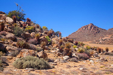 Goegap Nature Reserve; aloes and other succulent shrubs in arid landscape Springbok, South Africa, October 2012  -  Chris Mattison/ npl