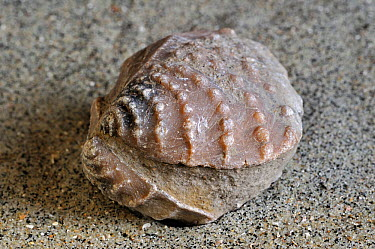Fossil (Myophorella clavellata) saltwater clam, marine bivalve mollusc, found at Vaches Noires in Normandy, France  -  Philippe Clement/ npl