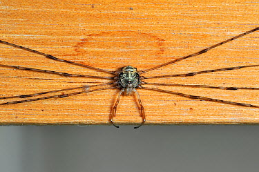 Splay-legged harvestman (Dicranopalpus ramosus) in resting posture, with legs stretched to the sides, inside house, Belgium  -  Philippe Clement/ npl