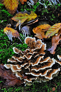 Many zoned polypore bracket fungus (Coriolus versicolor) and Candlesnuff fungus (Xylaria hypoxylon) growing on tree trunk in autumn forest, Belgium, October  -  Philippe Clement/ npl