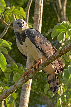 Harpy Eagle (Harpia harpyja) Gamboa, Soberania National Park, Panama  -  Ben Lascelles/ npl