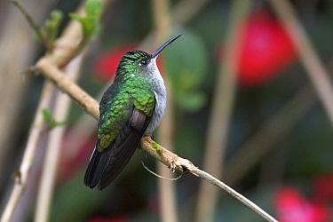 Stripe-tailed Hummingbird (Eupherusa eximia) Las Nubes National Park, Chiriqui, Panama  -  Ben Lascelles/ npl