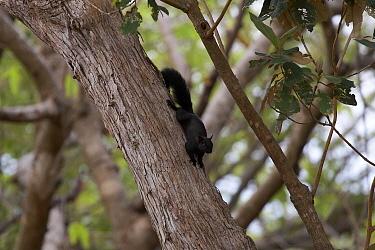 Variegated Squirrel (Sciurus variegatoides) Chiriqui, Panama  -  Ben Lascelles/ npl
