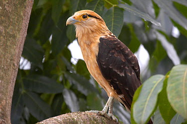 Yellow-headed Caracara (Milvago chimachima) Gamboa, Soberania National Park, Panama  -  Ben Lascelles/ npl