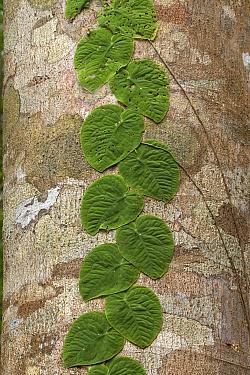 Leaves of vine growing on tree Soberania National Park, Panama  -  Ben Lascelles/ npl
