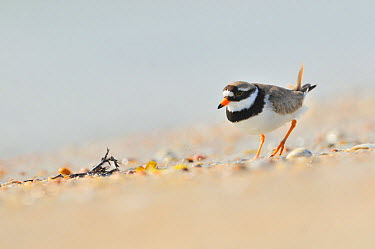 Male Ringed plover (Charadrius hiaticula) on beach, Outer Hebrides, Scotland, UK, June Did you know? When Plovers sense danger a parent bird will pretend to have a broken wing to distract predators  -  Fergus Gill/ 2020V/ npl