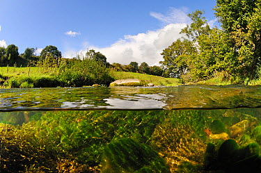 Split-level view of the River Leith, showing Water-crowfoot (Ranunculus fluitans subsp penicillatus) growing underwater, Cumbria, England, UK, September Did you know? Cumbria is one of the least densl...  -  Linda Pitkin/ 2020V/ npl