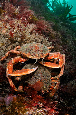 Spiny spider crab (Maja brachydactyla, squinado) pair on rock covered with red algae, Lundy Island Marine Conservation Zone, Devon, England, UK, May  -  Linda Pitkin/ 2020V/ npl