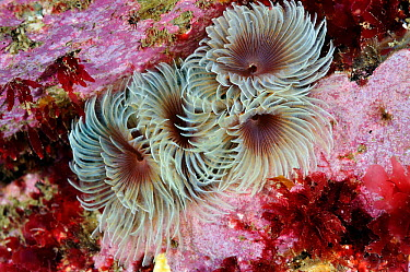 Tube worms (Bispira volutacornis) living between rocks covered in Crustose coralline (Corallinaceae) and red algae (Rhodophyceae), Lundy Island Marine Conservation Zone, Devon, England, UK, May  -  Linda Pitkin/ 2020V/ npl