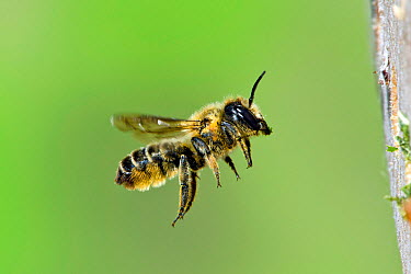 Leafcutter bee (Megachile willughbiella) flying toward insect box in garden, Hertfordshire, UK, August  -  Andy Sands/ npl