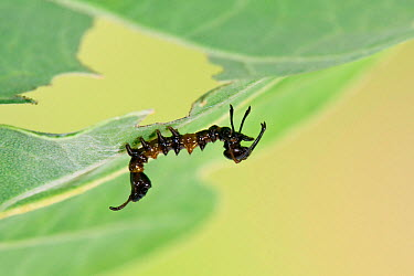 Lobster moth (Stauropus fagi) first instar larva waving long thoracic legs to mimic ant, UK, August, captive  -  Andy Sands/ npl