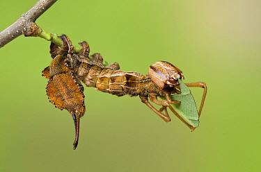 Lobster moth (Stauropus fagi) fourth instar larva feeding on Oak leaf, UK, August, captive  -  Andy Sands/ npl