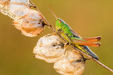 Common Green Grasshopper (Omocestus viridulus), resting on dead Yellow rattle stem, Vealend Farm, Devon, UK August 2012  -  Ross Hoddinott/ npl