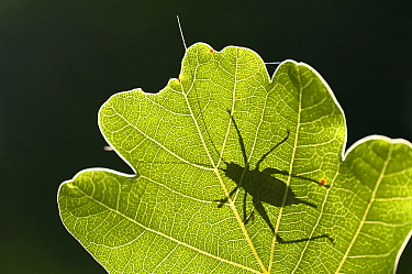 Speckled bush cricket (Leptophyes punctatissima) outline seen through backlit oak leaf, Bovey Tracey, Devon, UK August  -  Ross Hoddinott/ npl