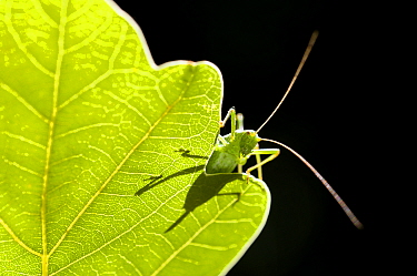 Speckled bush cricket (Leptophyes punctatissima) resting on backlit oak leaf, Bovey Tracey, Devon, UK August  -  Ross Hoddinott/ npl
