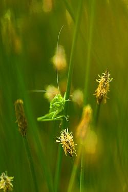 Short horned grasshopper (Acrididae family), Campanarios de Azaba Biological Reserve, a rewilding Europe Area, Salamanc, Castilla y Leon, Spain  -  WWE/ Munoz/ npl