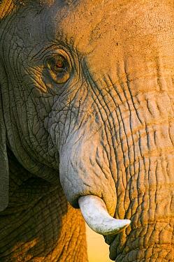 African Elephant (Loxodonta africana), close-up Masai-Mara Game Reserve, Kenya  -  Denis Huot/ npl