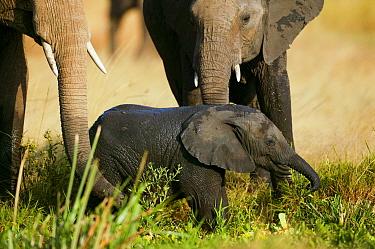 African Elephant (Loxodonta africana), mother and young Masai-Mara Game Reserve, Kenya  -  Denis Huot/ npl