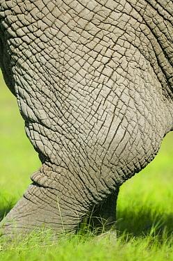 African Elephant (Loxodonta africana), skin close-up of the skin of a leg Masai-Mara Game Reserve, Kenya  -  Denis Huot/ npl
