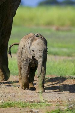 African Elephant (Loxodonta africana) baby followed by mother Masai-Mara Game Reserve, Kenya  -  Denis Huot/ npl
