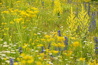 Verbascum (Verbascum speciosum) flowering amongst (Echium sp) and (Leucanthemum sp), North Velebit National Park, Velebit Nature Park, Rewilding Europe area, Velebit mountains, Croatia  -  WWE/ Widstrand/ npl