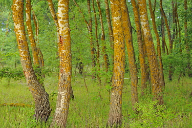 White Poplar trees (Populus alba) Letea forest, Strictly protected nature reserve, Danube delta rewilding area, Romania  -  WWE/ Widstrand/ npl