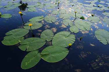 Yellow water lilies (Nuphar lutea) on river surface, Danube delta rewilding area, Romania  -  WWE/ Widstrand/ npl