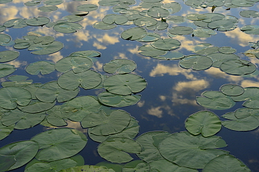 Yellow water lilies (Nuphar lutea) lily pads on surface, Danube delta rewilding area, Romania  -  WWE/ Widstrand/ npl