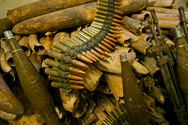African Elephant (Loxodonta africana) ivory and confiscated ammunitions and guns Zakouma National Park, Chad 2010  -  Jabruson/ npl