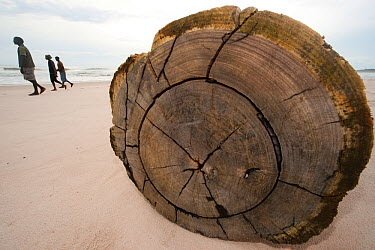 People walk passed hardwood log on beach, dropped into the ocean, washed overboard, abandoned hardwood tree trunks wash ashore along Gabon's Atlantic coast Logs disrupt nests and nesting behaviour of...  -  Jabruson/ npl