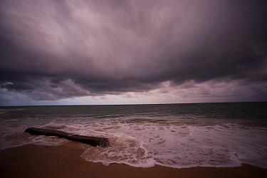 Dropped into the ocean or washed overboard, hardwood tree trunks wash ashore along Gabon's Atlantic seaboard, Pongara National park Logs disrupt nests and nesting behaviour of sea turtles along the en...  -  Jabruson/ npl