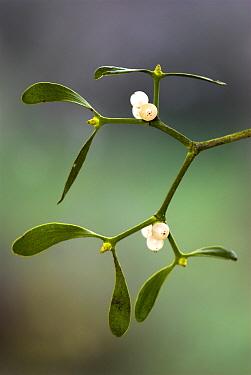 Mistletoe (VIscum album) berries Somerset, UK, November  -  Colin Varndell/ npl