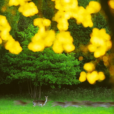 Fallow deer (Dama dama) one deer stops and looks whilst the herd runs on, with sunlit leaves out of focus, Vastmanland, Sweden  -  Anders Geidermark/ npl