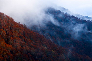 European beech forest (Fagus sylvatica) covered in low cloud cover, Polino, Umbria, Italy  -  WWE/ Muller/ npl