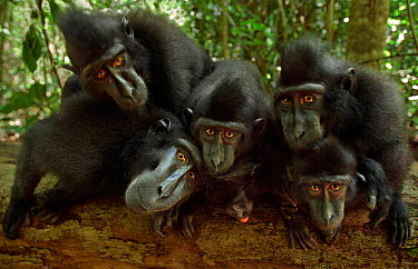Celebes, Black crested macaque (Macaca nigra) group watching with curiosity, Tangkoko National Park, Sulawesi, Indonesia  -  Anup Shah/ npl