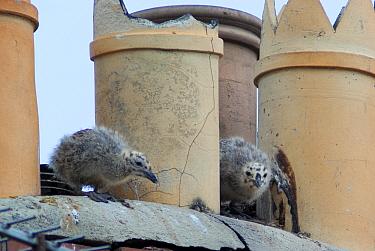 Herring gull (Larus argentatus) chicks amongst chimneys, on rooftop, Bridgewater, UK, June  -  Jim Hallett/ npl