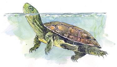 Illustration of Mediterranean Turtle (Mauremys leprosa) native to Mediterranean, from North western Africa to Iberia, Pencil and watercolor painting  -  Juan Manuel Borrero/ npl