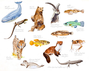 Illustration of threatened species of Spain : Blue whale (Balenoptera musculus), Brown bear (Ursus arctos), Spanish ibex (Capra pyrenaica hispanica), Bullhead (Cottus gobio), Iberian Rock Lizard (Lace...  -  Juan Manuel Borrero/ npl