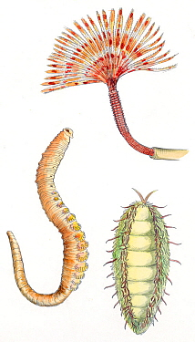 Illustration of different Polychaetes worms Pencil and watercolor painting  -  Juan Manuel Borrero/ npl